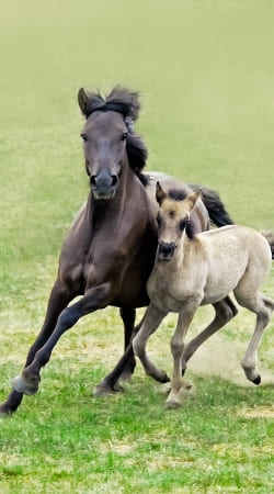 cover Horses, wild Duelmener ponies, mare and foal